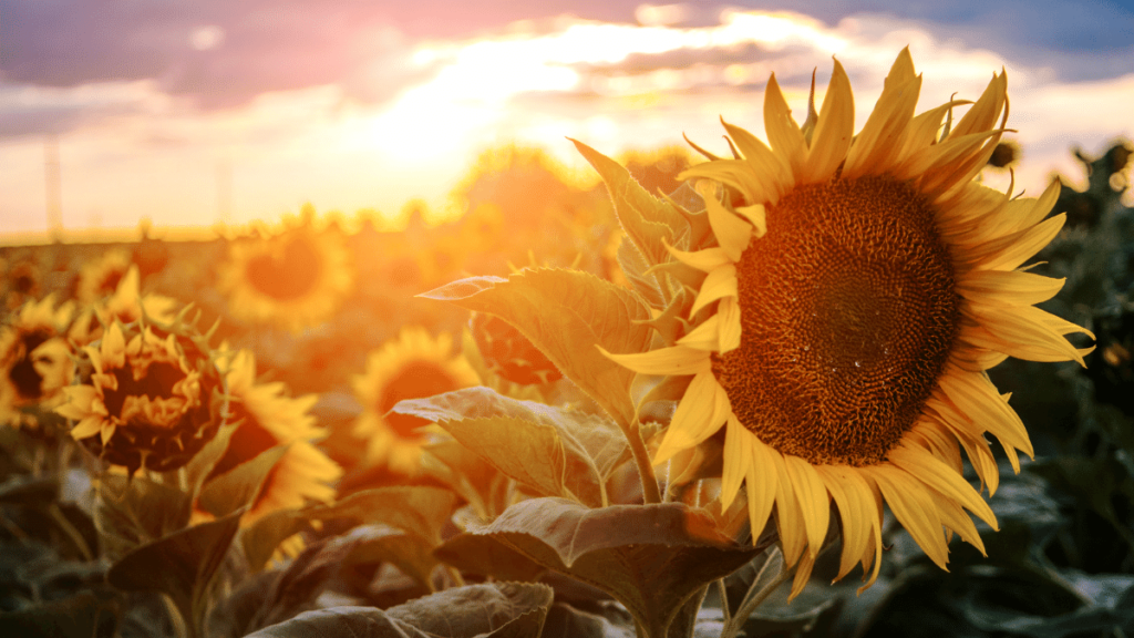 sunflowers represent happiness